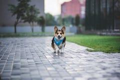 彭布罗克角威尔士小狗,狗跑威尔士的小狗户外 库存图片
