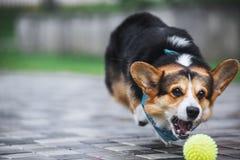 彭布罗克角威尔士小狗,狗跑威尔士的小狗户外 免版税库存照片