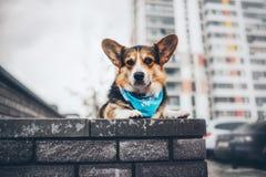 彭布罗克角威尔士小狗,狗跑威尔士的小狗户外 库存照片