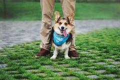 彭布罗克角威尔士小狗,狗跑威尔士的小狗户外 免版税库存图片
