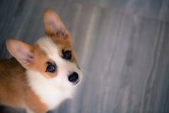 彭布罗克角威尔士小狗 库存图片