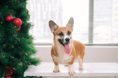 彭布罗克角小狗在用圣诞树装饰的房子里 愉快 免版税图库摄影