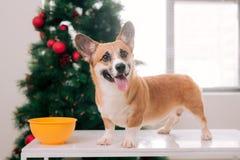 彭布罗克角小狗在用圣诞树装饰的房子里 愉快 免版税库存照片
