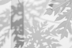 阴影在墙壁上的番木瓜叶子抽象背景  免版税库存图片