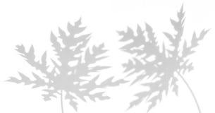 阴影在白色墙壁上的番木瓜叶子抽象背景  库存图片