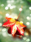 影片作用 秋天颜色 在溜滑玄武岩石头的下落的枫叶在发烟性水中 山小河小瀑布冷水  库存图片