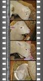 影片羊羔 免版税库存图片