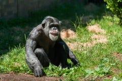 彻斯特动物园,彻斯特,英国:2017年7月1日:坐草的被日光照射了成年女性黑猩猩注视在框架外面,刻画thoughtfu 库存照片