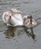 彼此相爱的两只天鹅 库存照片