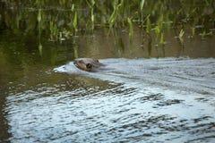 往植被的海狸游泳在Southford下跌, Southbury, 库存照片