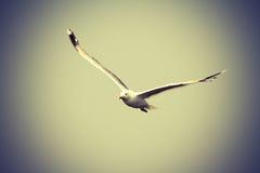 往照相机的里海鸥飞行 库存图片
