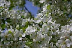 往苹果树一个进展的分支的厚实的粗野的土蜂飞行  免版税图库摄影