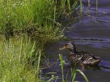 往草的鸭子游泳在湖 免版税库存图片