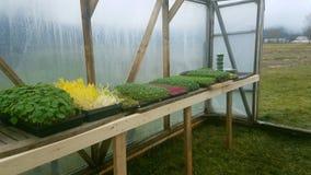 很多幼木,通过了在室外罐的新芽阶段和生长了他们的第一片种子叶子 免版税库存照片