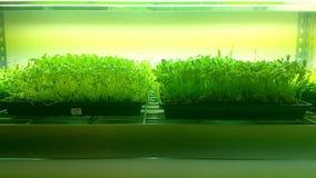 很多有机幼木他们在与新鲜空气和阳光的土壤手小心被浇灌并且增长 图库摄影