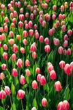 很多桃红色郁金香在公园在背后照明的早晨 免版税库存图片