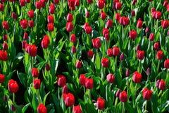 很多桃红色郁金香在公园在背后照明的早晨 库存照片