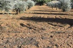 很多橄榄树 橄榄色域 免版税库存图片