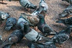 很多灰色鸽子 免版税库存照片