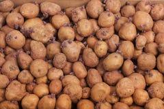 种植的土豆 免版税库存照片