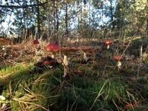 很多红色伞菌,秋天森林风景 免版税库存照片
