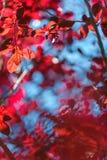 很多红色在轻的天空背景离开 一片晴朗的五颜六色的叶子 秋天五颜六色的森林离开风景 美丽的公园和庭院 免版税库存照片
