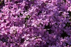 很多美丽的福禄考紫色花 库存图片