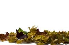 很多色的干燥枫叶 库存照片