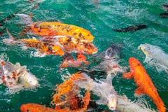 很多花梢鲤鱼或胡扯或者Koi鱼桔子或金子颜色,游泳在池塘水波 库存照片