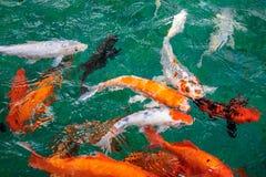 很多花梢鲤鱼或胡扯或者Koi鱼桔子或金子颜色,游泳在池塘水波 免版税图库摄影