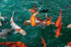 很多花梢鲤鱼或胡扯或者Koi鱼桔子或金子颜色,游泳在池塘水波 免版税库存照片