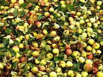 很多苹果在秋天 库存图片