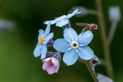 很多蓝色fotget我没有与昆虫的花在一个夏天su 图库摄影