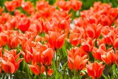 很多郁金香花在一个晴天 免版税图库摄影