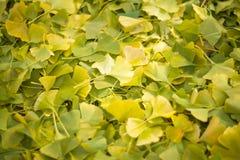 很多银杏树叶子 库存图片