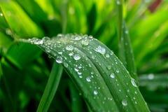 很多雨在草叶滴下,夏日绿色背景 免版税库存图片