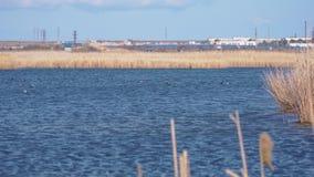 很多鸭子在有大海和黄色芦苇的一个湖游泳并且潜水 股票录像