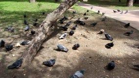 很多鸽子飞行吃 鸽子在公园为哺养到达 股票录像