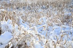 很多黄色芦苇特写镜头,盖用雪层数  沼泽的地形在冬天 免版税库存照片