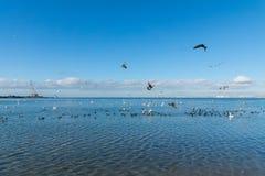 很多水鸟:老傻瓜或者flatted拉特 骨顶属atra,疣鼻天鹅拉特 天鹅座olor和银鸥拉特 在t的鸥属argentatus 库存图片