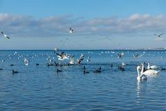 很多水鸟:老傻瓜或者flatted拉特 骨顶属atra,疣鼻天鹅拉特 天鹅座olor和银鸥拉特 在t的鸥属argentatus 免版税库存照片