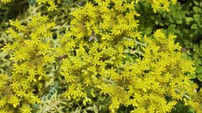 很大数量的欧洲蜂授粉黄色花并且从花飞行到花 影视素材