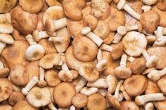 很大数量的真菌蜜环菌。 库存图片