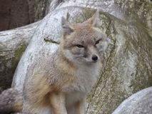 很快的狐狸 库存图片
