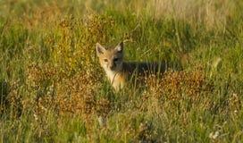 很快的狐狸 免版税库存图片