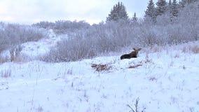 徒升在休息在雪的麋 影视素材