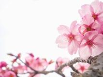 徒升桃红色樱花 库存照片