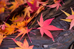 徒升秋天槭树 免版税库存照片