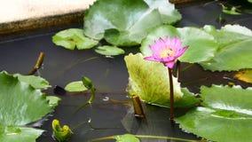 徒升蜂蜜收集花粉深深开花的紫色荷花的蜂飞行在一个荷花池夺取了在泰国 莲花flo 股票录像