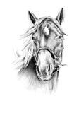 徒手画的马头铅笔图 库存照片